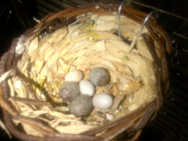 Finch and canary  eggs